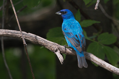 Indigo Bunting male backyard in Trempealeau County