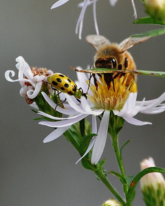 Beetle and the Bee