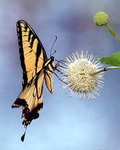 Buttonbush and Eastern Tiger Swallowtail