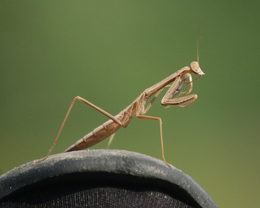 Mantis on My Shoe