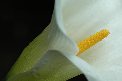 A calla lily in my backyard (the water is from actual rain).