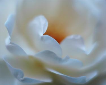 Quiet rose
