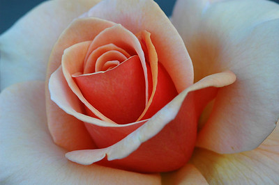 One of Julie's beautiful deck roses.  I love the subtle colors on this one.