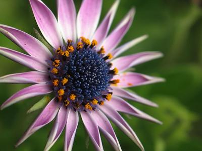 A tiny daisy.