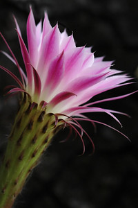 One of the most beautiful flowers I've ever seen - on a cactus.