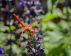Dragonfly (Cardinal Meadowhawk) visitor on my backyard Salvia