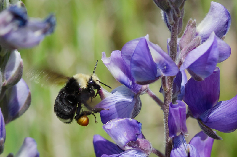 Yellow faced Bumblebee on Lupine flowers