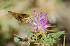 Branded Skipper on August Wildflower