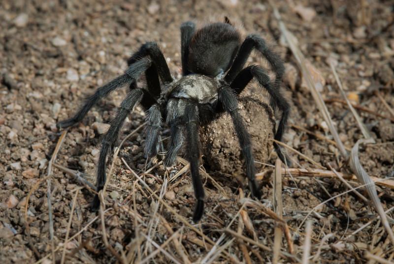 Male California black tarantula searching for a mate
