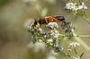 Golden Digger Wasp