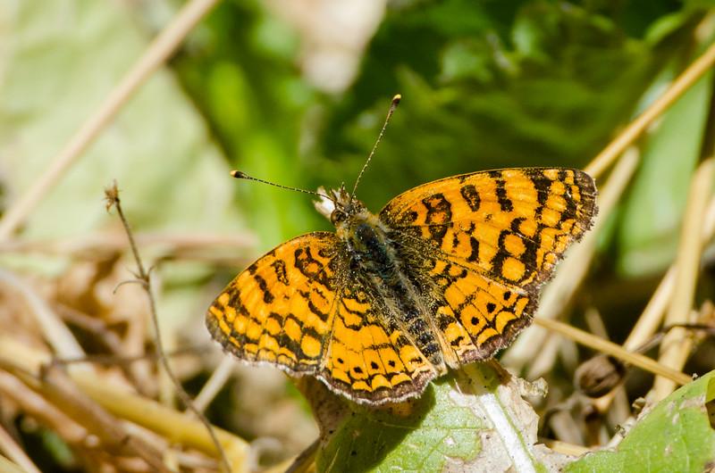 Mylitta Crescentspot Butterfly