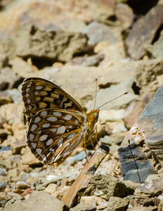 Callippe fritillary butterfly from rare Mt. Hamilton population.