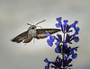 Hummingbird, or Moth?