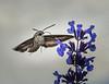 Hummingbird, or Moth?