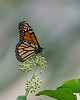 Monarch Butterfly feeding on ivy blooms