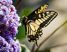 Anise Swallowtail butterfly on Statice flowers