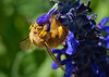 Valley Carpenter Bee