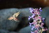 White-lined Sphinx - Hummingbird moth