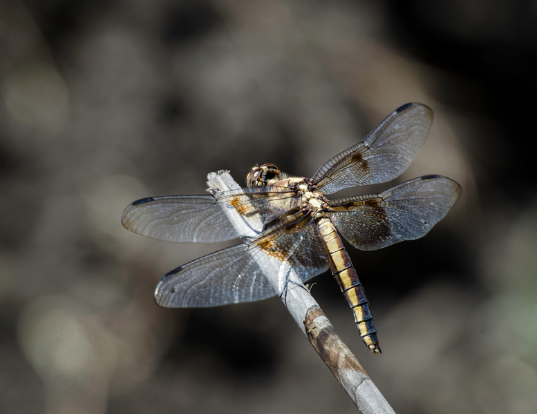Female Widow Skimmer Dragonfly resting in the sun