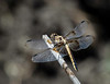 Female Widow Skimmer Dragonfly in the sun