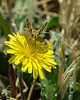 Sandhill skipper takes a sip from a Common Sow Thistle