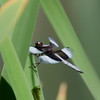 Male Widow Skimmer Dragonfly  (Libellula luctuosa)