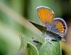 Female Western Pygmy Blue, Brephidium exile butterfly