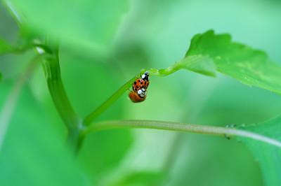 Ladybugs Mating Dance (2)