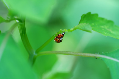 Ladybugs Mating (3)
