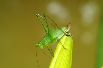 Grasshopper on Bud of a Day Lily