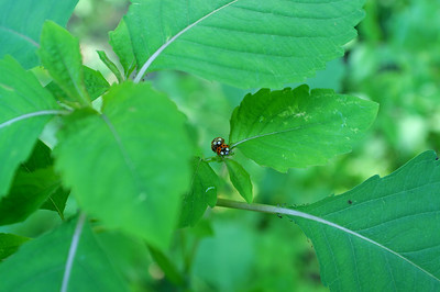 Look into my eyes - Ladybugs Mating (1)