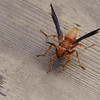 Red Paper Wasp