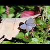 Eastern-Tailed-Blue Butterfly