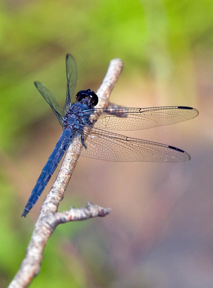 Dragonfly- Seaside Dragonlet