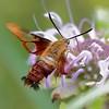 Hummingbird Glassy Winged Sphinx Moth
