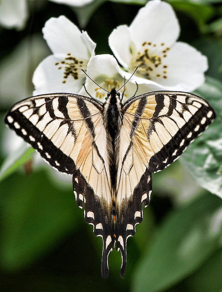 Butterfly - tiger swallowtail-symmetrical personified