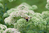 Hummingbird Moth on Sedum