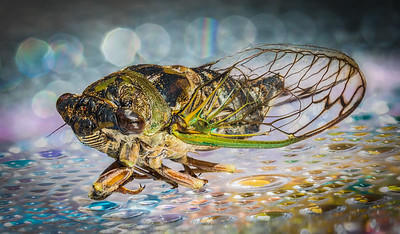 Cicada III
