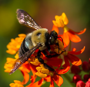 Carpenter Bee 1