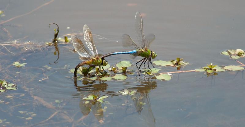Eastern Pondhawk Male and Female in Tandem Depositing Eggs