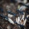 Black Ants<br /> Rombo, Kenya