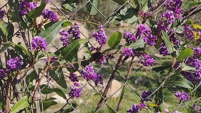 Carpenter Bees enjoying the Hardenbergia violacea