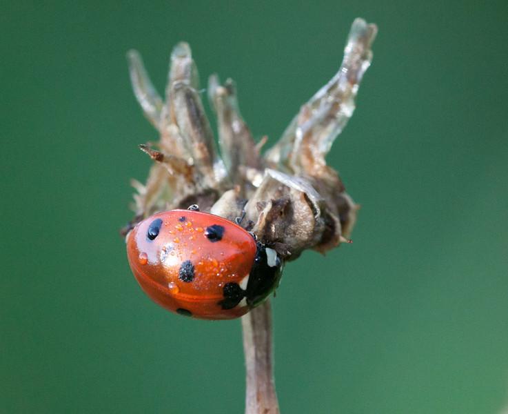 Coccinella septempunctata Seven Spotted Lady Beetle