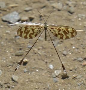 Nnemoptera bipennis