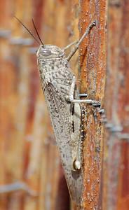Adult Egyptian Grasshopper (Anacridium aegyptium)