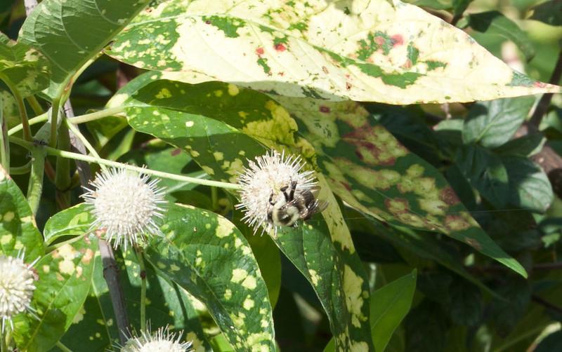 Common Eastern Bumblebee (Bombus impatiens)<br /> Smith Co. TX