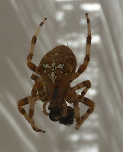 Cross Spider - Araña de la Cruz - ARANEUS DIADEMATUS