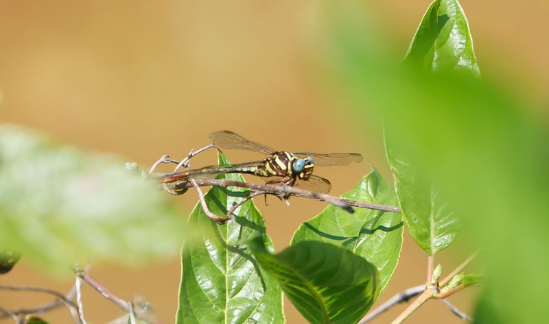 Two-striped Forceptail (Aphylla williamsoni)<br /> Smith Co. TX