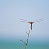 Dragonfly<br /> Caswell Beach, North Carolina, USA