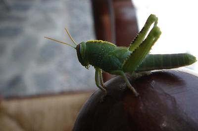 Egyptian grasshopper (Anacridium aegyptium) 2a